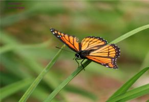 Viceroy On The Grass by panda69680102