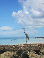 Coquina Beach - Heron 2 by Lauren-Lee