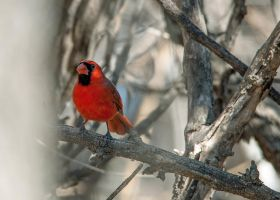 Cardinal of the trees by in-my-viewfinder