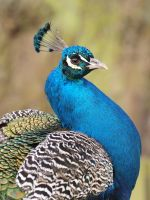 Colourfull peacock II by pagan-live-style