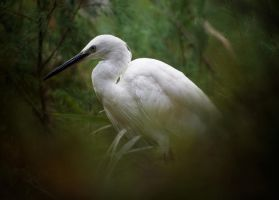 Egret in Camargue by EyeOfBoa