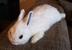 Pure White Bunny Soft Mount by DeerfishTaxidermy