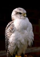 Lanner Falcon Hybrid by Tinap