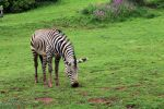 Zebra at Paignton Zoo by Clerdy