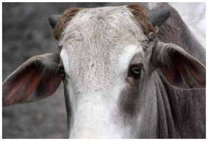 Cow I by DysfunctionalKid