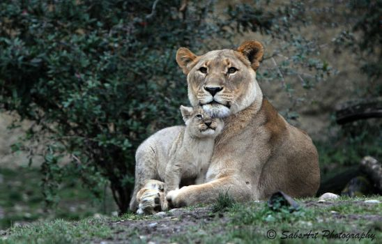 Baby lion with his mother by SabsArt