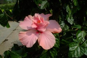 Double pink hibiscus by EruwaedhielElleth