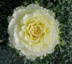 Flowering Cabbage I by Photos-By-Michelle
