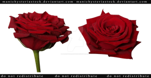 Red Rose cut out stock 4 by ManicHysteriaStock