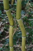 Crooked Bamboo by organicvision