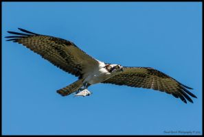 Osprey snack by AirshowDave