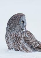 Great Gray Owl 4 by Les-Piccolo