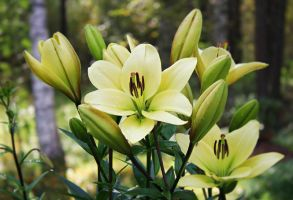 lilies 29-8-2012 by miss-gardener