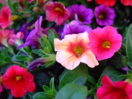 Colorful Petunias by Sugaree33-Art