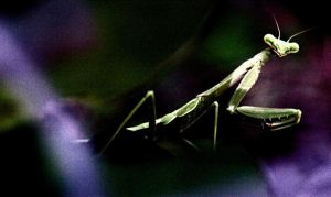 Praying Mantis 2 by SingBabySing