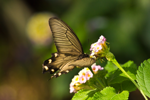 Swallowtail Butterfly by TimGrey