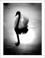 Swan. by chocologic