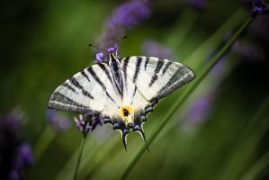 Butterfly Iphiclides podalirius by FReeZeR73