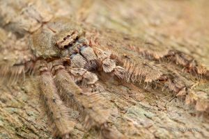 Hairy Huntsman Spider by melvynyeo