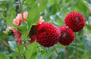 red filled dahlias by ingeline-art