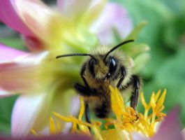 Bumble Bee on Dahlia - macro by JocelyneR