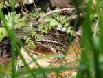 Leopard Frog 2 by Ariel-Bubbles