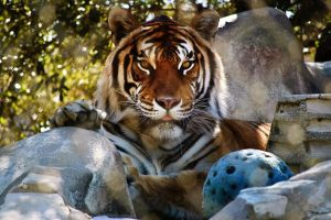 Bengal tiger playing with ball by LeGreg
