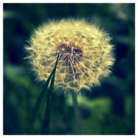 dandelion by SIR13
