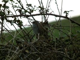 hedgesparrow by harrietbaxter
