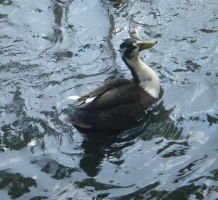 Pied duck: stock by Lythre-does-photos