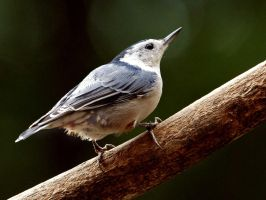 White Breasted Nuthatch by MichelLalonde