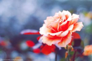 Pale Orange Rose by simzcom