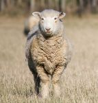 Nosey Sheep by ARC-Photographic