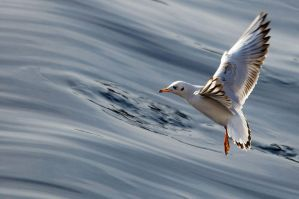 Black-headed Gull 2 by Vejr