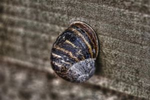 Snail - HDR image by JimPMM