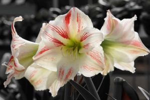 Lily flower 5 by a6-k