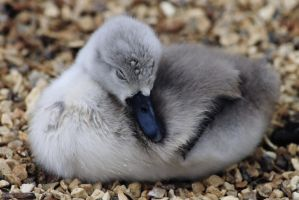 Sleeping Cygnet by emmalemmadingdong