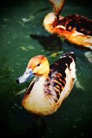Ducks by lostreality91