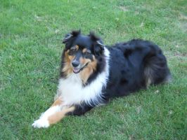 Australian Shepherd by AwesomeDangerWolf