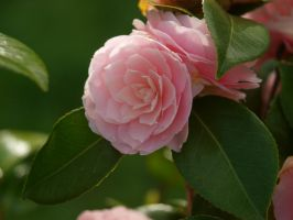Camellia 47 by botanystock