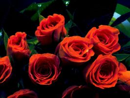 Roses by Chrissice