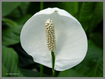 Peace Lily Bloom by Mogrianne