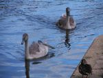 Swan 01 by Pagan-Stock