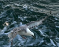 Icelandic fish seagull 5 by Snofte