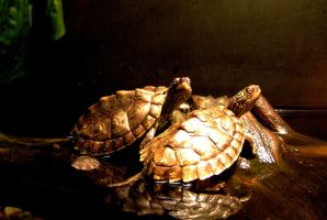 lovely turtles by anubhuti82
