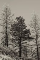 Whispering pines by Stewdog