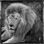 Lion by PatriceChesse