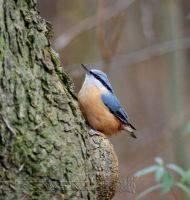 Nuthatch by Wild-Soul