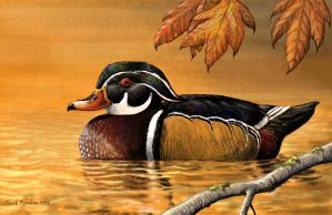 Quiet Waters - Wood Duck by ChuckRondeau