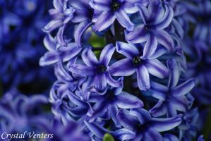 Blue Hyacinth by poetcrystaldawn
